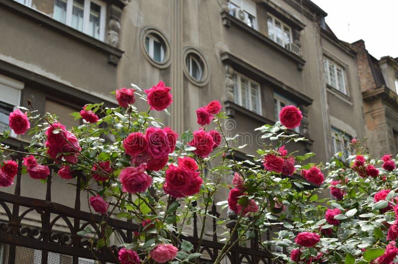 Roses rouges dedans en centre ville image libre de droits
