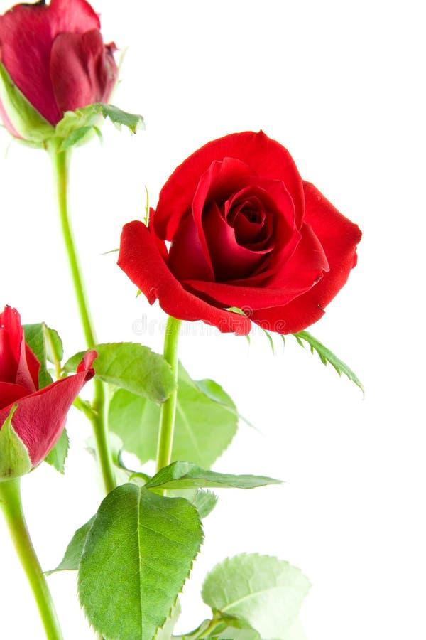 Roses rouges en plan rapproché images stock
