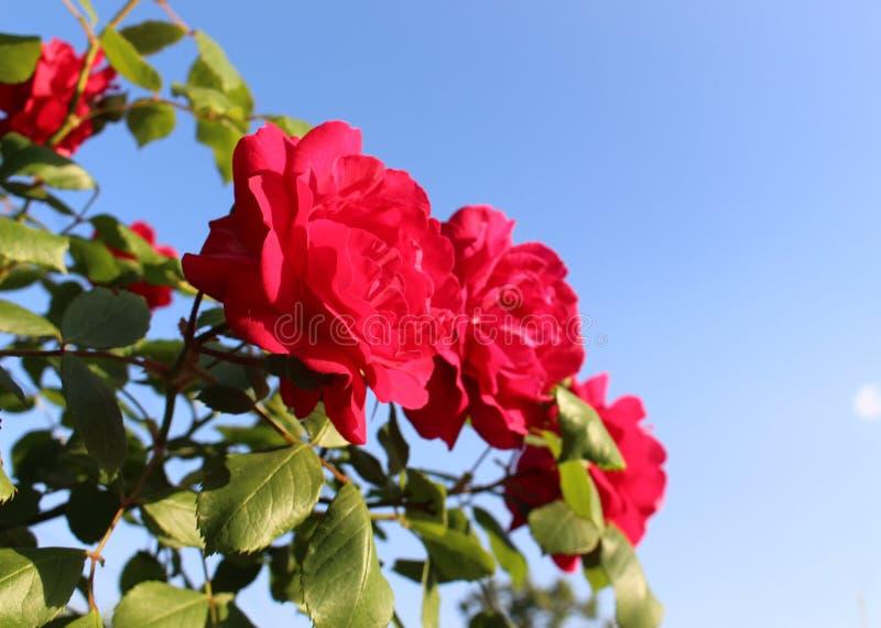 Roses rouges et belles dans la perspective du ciel bleu image libre de droits