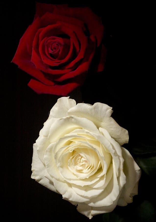Roses rouges et blanches photo libre de droits