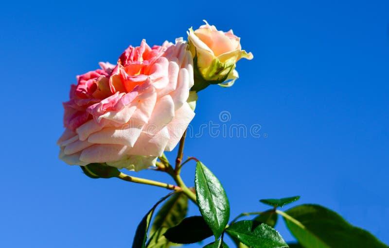 Download Roses Rouges Et Blanches Sur Le Fond De Ciel Bleu Photo stock - Image du lumineux, mariage: 77158588
