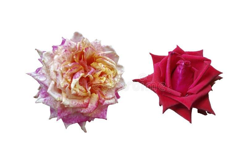 Roses rouges et roses d'isolement photos libres de droits