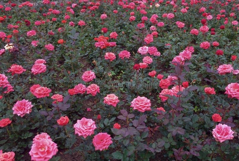 Roses rouges et roses dans un parterre image stock