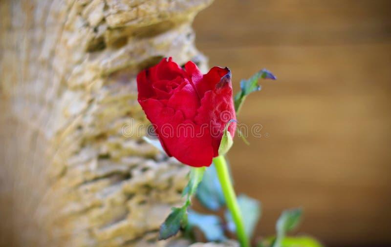 Roses rouges placées sur le vieux bois avec le contexte brouillé photo libre de droits