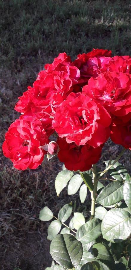 Roses rouges sur la lumière de coucher du soleil images stock