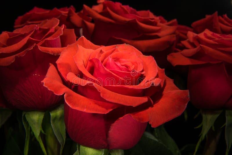 Roses rouges sur le fond noir photographie stock libre de droits