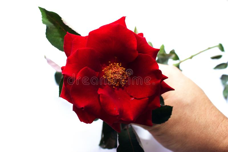 Roses rouges sur un fond blanc photo stock