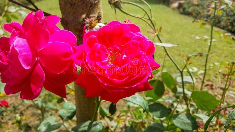 Roses rouges très belles et étonnantes image stock