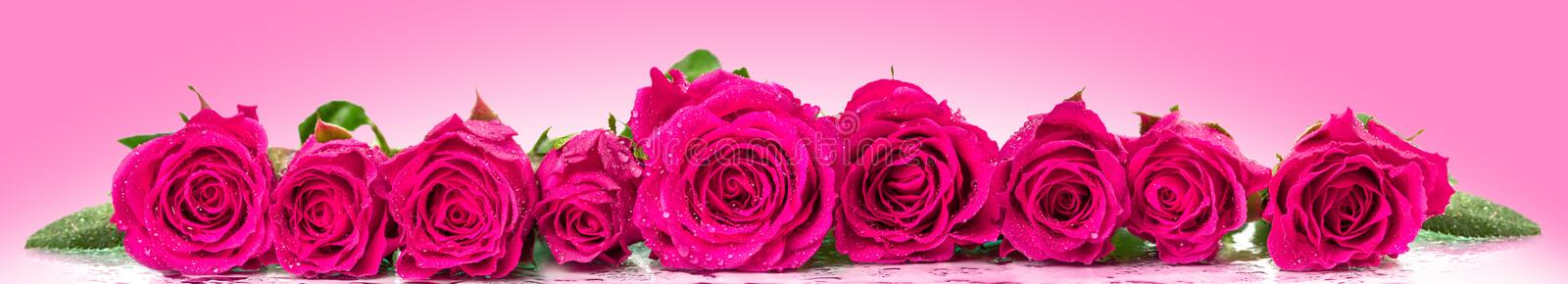 Roses in a row. royalty free stock images