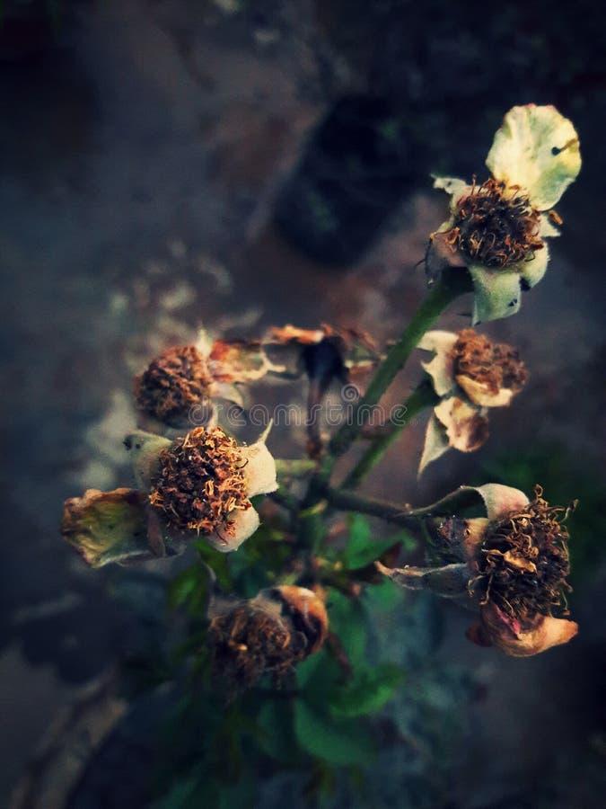 Roses sèches photos libres de droits