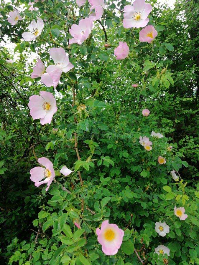 Roses roses sauvages dans la nature photo libre de droits