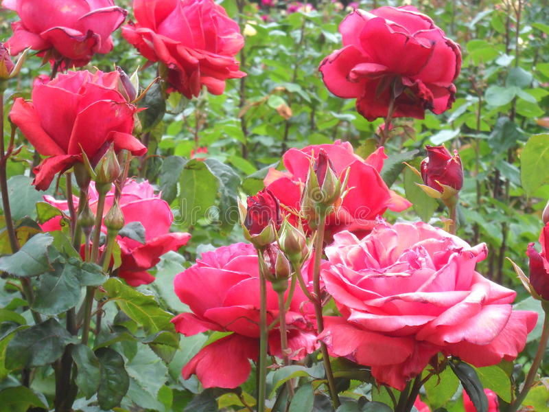 Roses sauvages rose-foncé images libres de droits