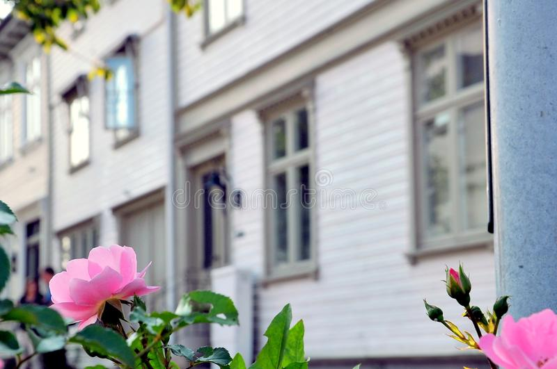 Roses on the streets of Kristiansand, Norway. Blossoming roses on the streets of Kristiansand, Norway royalty free stock photography