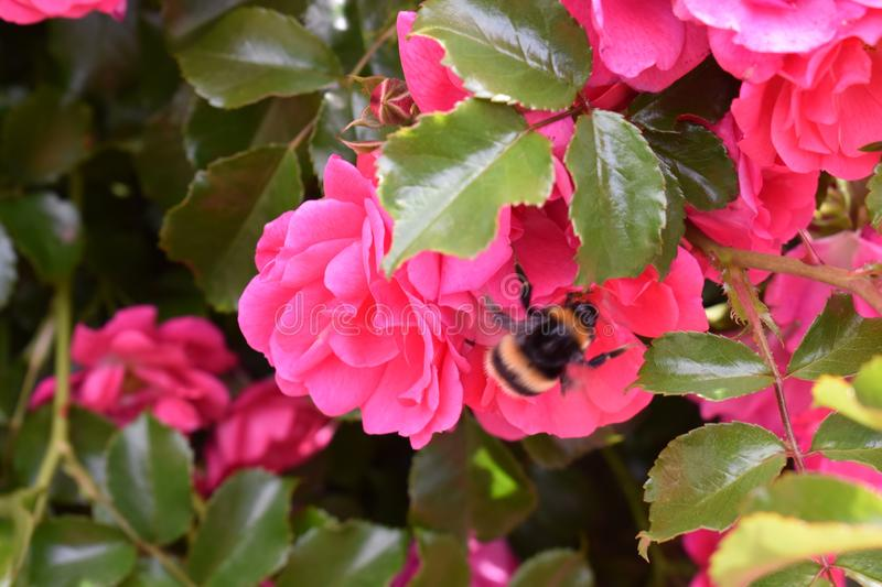 Roses and a striped bee. Close-up of a yellow bee on a bush of roses and leaves stock photography