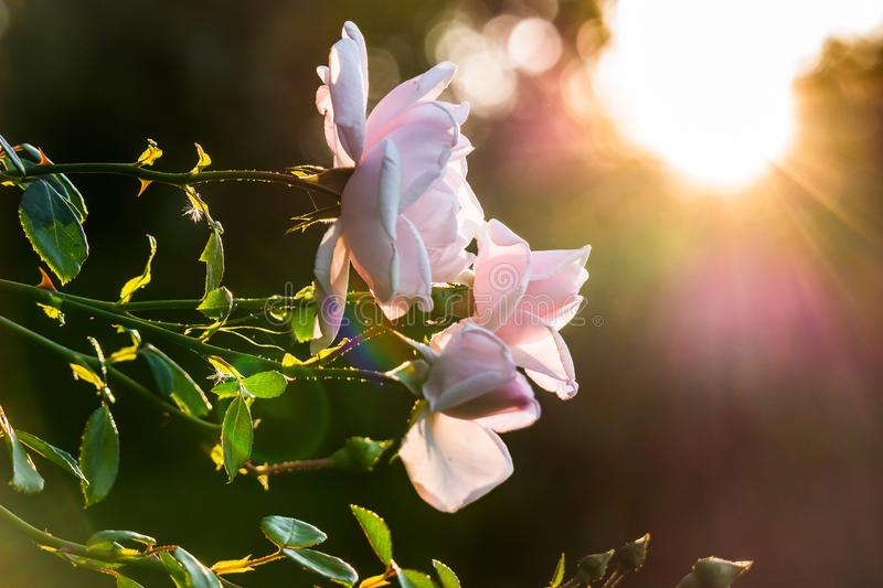 Roses at sunset royalty free stock photo