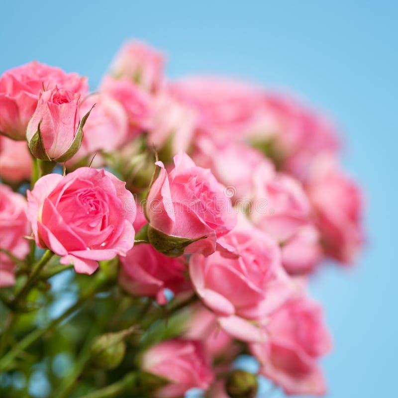 Roses sur un fond bleu photographie stock
