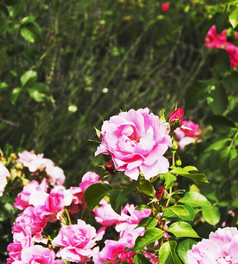 Roses sur un pré vert, fond, foyer sélectif photo stock