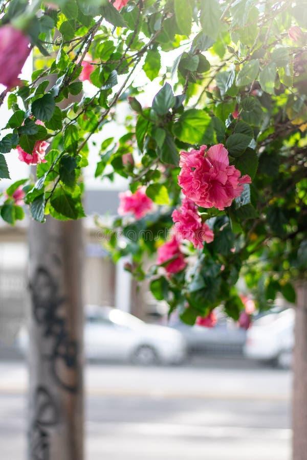 Roses sur un trottoir de ville photo libre de droits