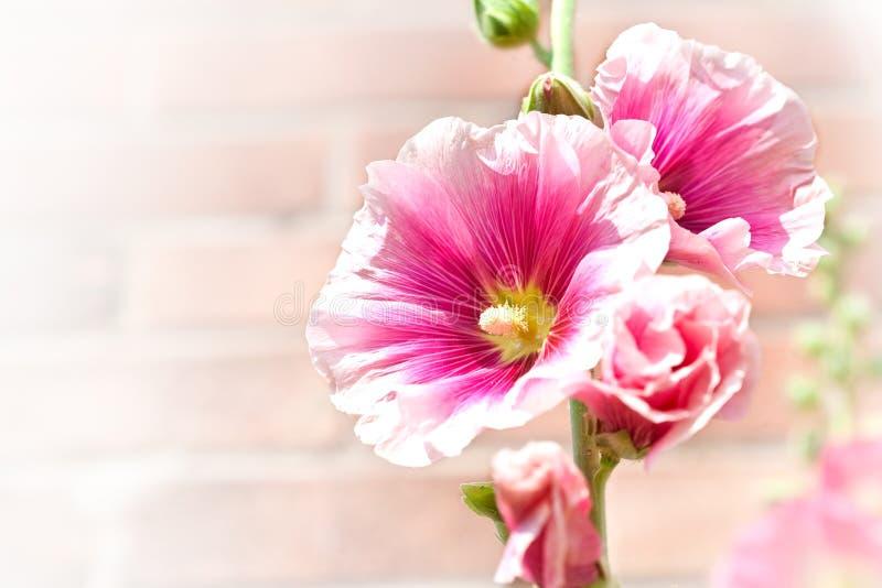 Roses trémière roses avec le gradient blanc pour le texte images libres de droits