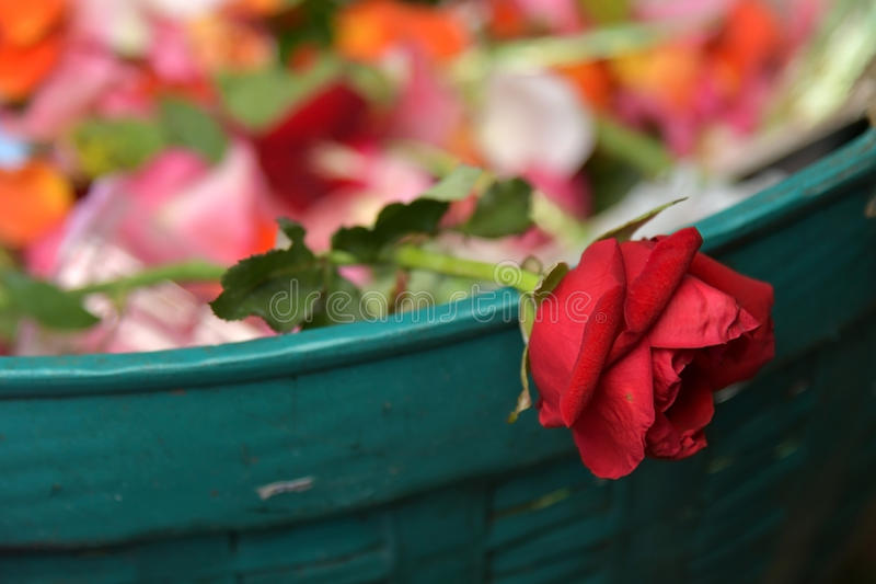Roses in Trash-group, dead, outdoors. Flowers royalty free stock images