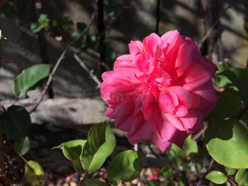 Roses under the tree with sunshine light. Roses under the tree with fresh green leaf and branch with sunshine light on it stock photos