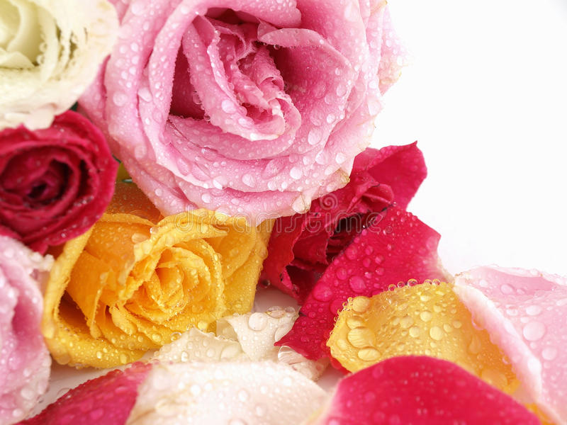 Roses and Water Drops royalty free stock photo