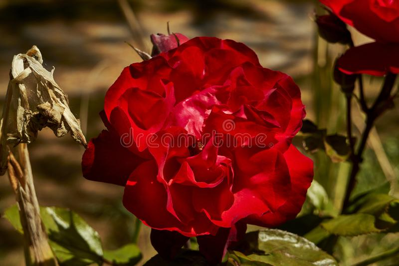 Roses at Wentworth Falls, New South Wales, Australien lizenzfreie stockbilder