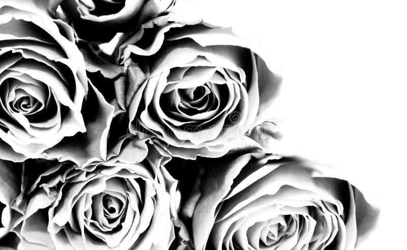 roses3 arkivfoton
