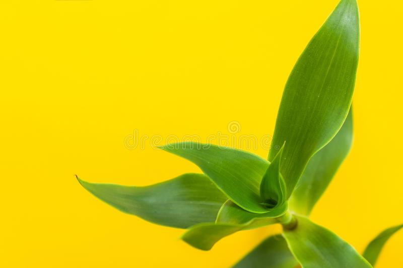 Rosette of green potted Callisia fragrans indoor house plant on bright yellow background. Interior decoration urban jungle stock photography
