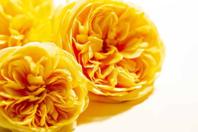 Rosettenform der gelben Englischrose lokalisiert auf weißem Hintergrund stockbild