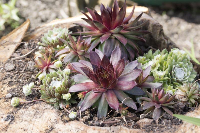 Rosetter för arachnoideum för för Sempervivum hybridumrubin och sempervivum i trädgården royaltyfria foton