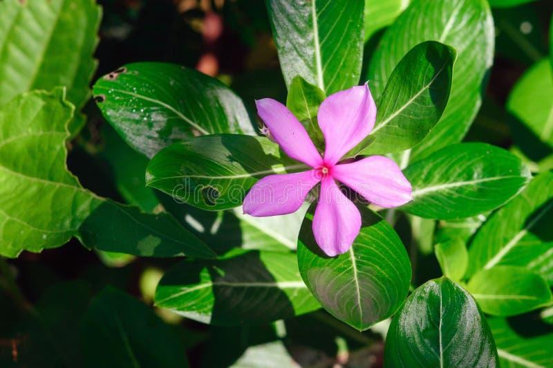 Roseus cor-de-rosa do Catharanthus da flor, conhecido geralmente como a pervinca de Madagáscar foto de stock