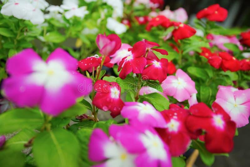 Roseus del Catharanthus, flor del bígaro de Madagascar o del bígaro de rosa foto de archivo libre de regalías
