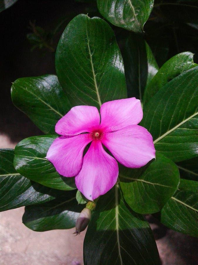 Roseus do Catharanthus fotografia de stock