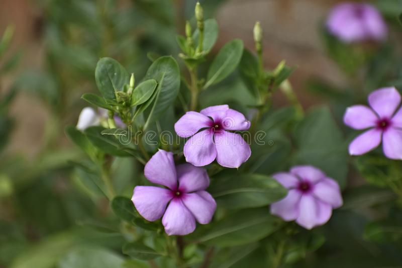 Roseus do Catharanthus, conhecido geralmente como a pervinca de Madagáscar, uma fonte das drogas vincristine e o vinblastine, usa imagens de stock royalty free