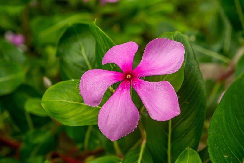 Roseus do Catharanthus da cor ou pervinca cor-de-rosa de Madagáscar em um jardim foto de stock royalty free