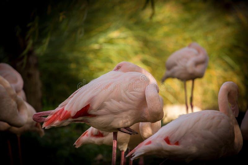 Roseus van Phoenicopterus van portret Grotere Flamingo's stock fotografie