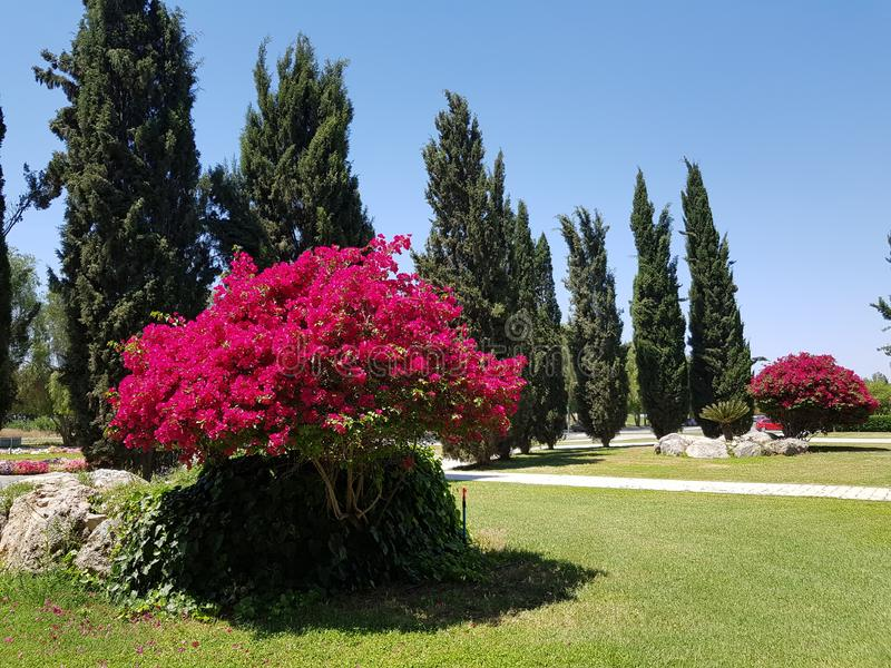 Rosewood, υπερηφάνεια του νησιού της Κύπρου, η τρυφερότητα της φύσης στοκ φωτογραφία με δικαίωμα ελεύθερης χρήσης