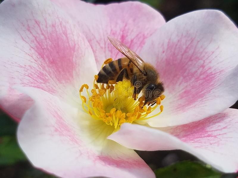 Rosey l'abeille de gaffer photo stock