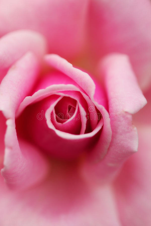 Rosey royalty free stock images
