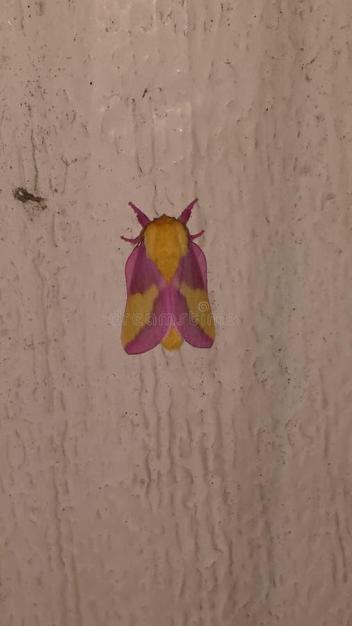 Rosey oak moth stock image