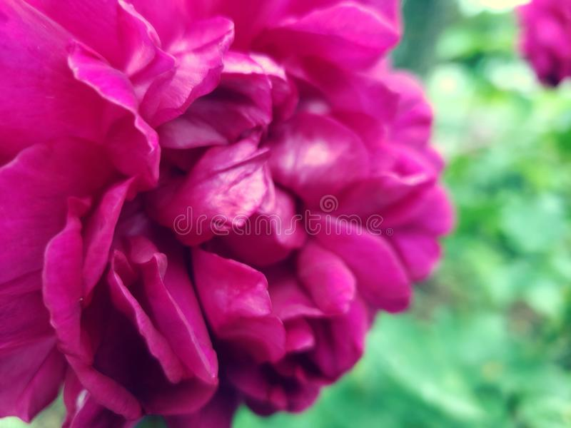 Rosey arkivfoton