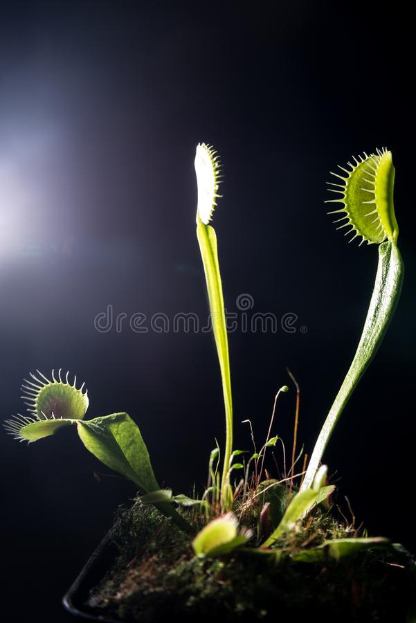Rosiczka, flycatcher mięsożerna roślina w garnku Zamyka w górę widok zdjęcia stock
