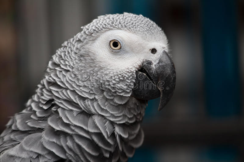 Rosie the african grey royalty free stock photos