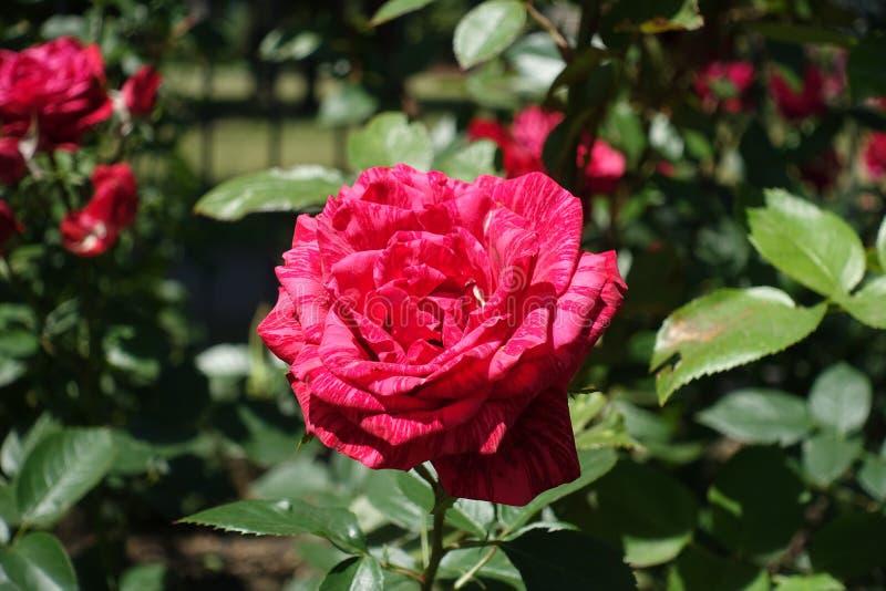Rosier avec les fleurs rouges rayées photo stock