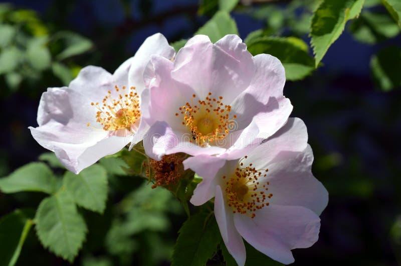 Rosier avec un bon nombre de roses roses en fleur image libre de droits