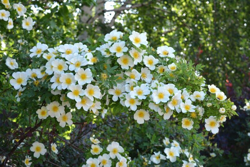 Rosier fleurissant abondant avec de belles fleurs blanches photographie stock libre de droits
