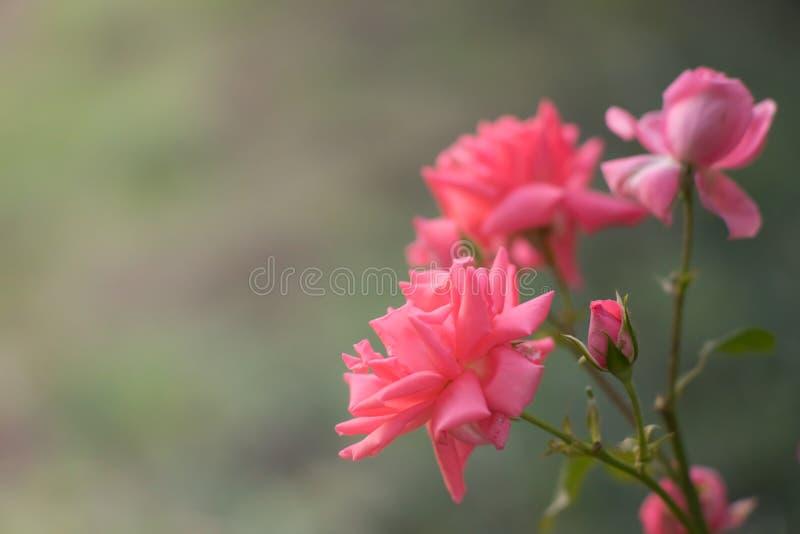 Rosier pâle rose à l'arrière-plan de nature de jardin ou de parc d'été photographie stock