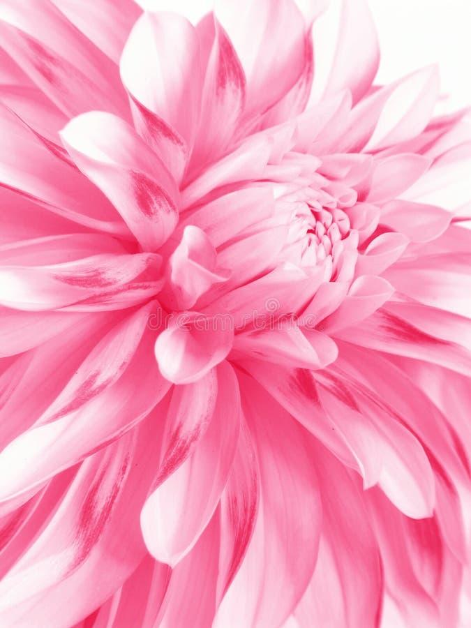 rosig blomma arkivbilder
