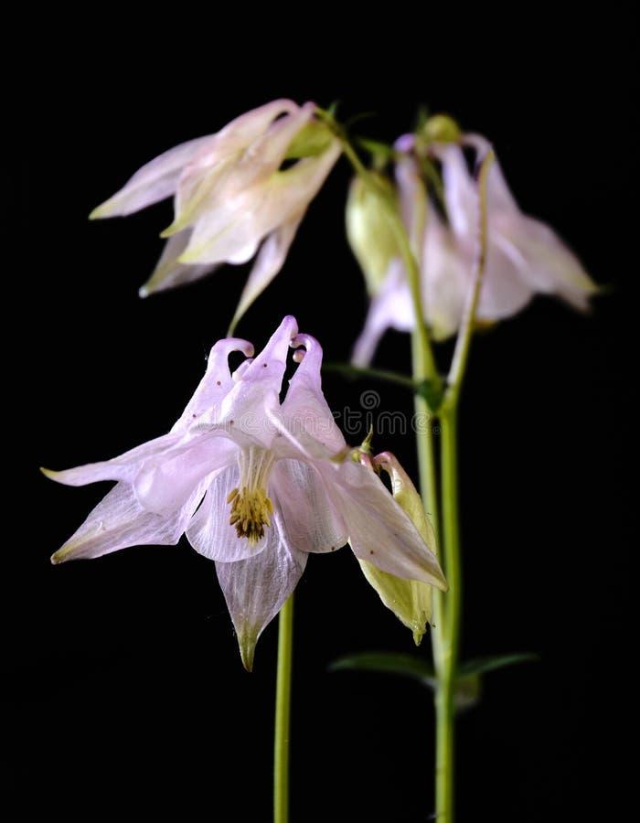 Rosig blomma av aquilegiaen royaltyfri foto